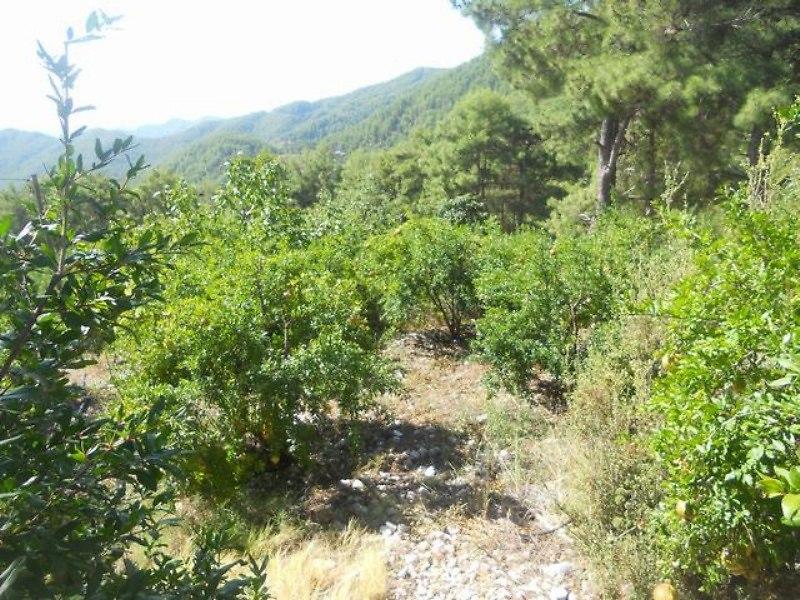 Antalya Kumluca'da Nar Bahçesi