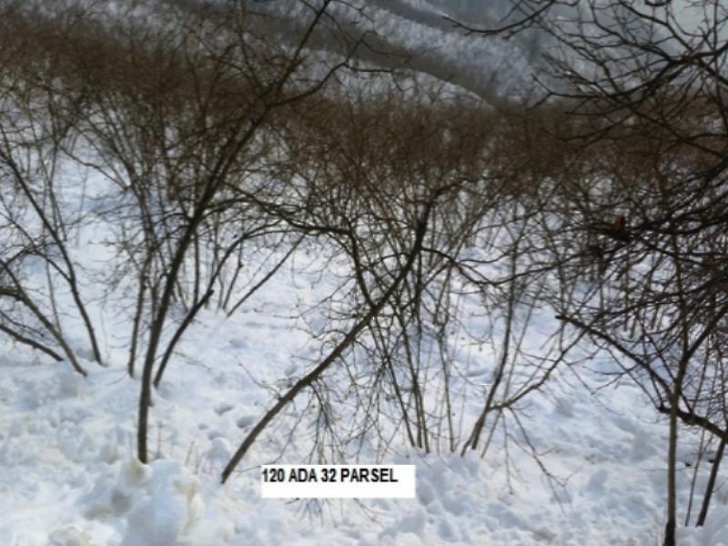 Düzce Akçakoca Esmahanım Köyü'nde Fındık Bahçesi