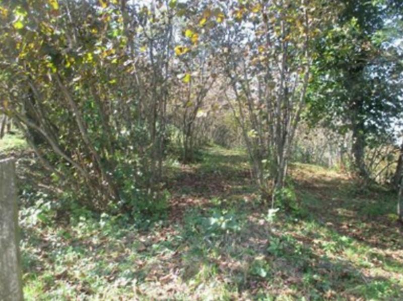 Samsun Terme'de Fındık Bahçesi
