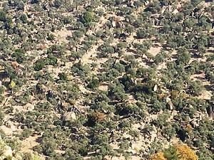 Aydın Karpuzlu Dalıp Mahallesinde 14.760 m2 Zeytinlik