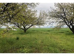 Malatya Akçadağ Ilıcak Mahallesinde 12 Dönüm Kayısı Bahçesi