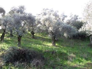 Aydın Efeler Musluca Mahallesinde 45 Dönüm Zeytin ve İncir Bahçesi