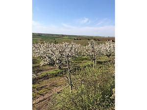 Kırklareli Babaeski Yenimahalle Köyünde 7 Dönüm 200 Ağaçlı Kiraz Bahçesi
