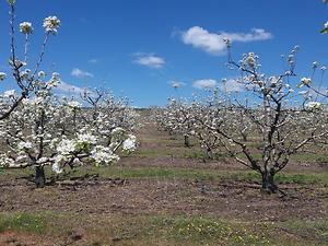 Kırklareli Babaeski Yenimahalle Köyünde 7 Dönüm 450 Ağaçlı Armut Bahçesi
