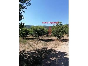 Bilecik Osmaneli Oğulpaşa Mahallesi'nde 8 Dönüm Şeftali Bahçesi