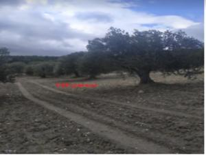 Manisa Akhisar Yatağan Mahallesi'nde 8500 m2 90 Ağaçlı Zeytinli Tarla