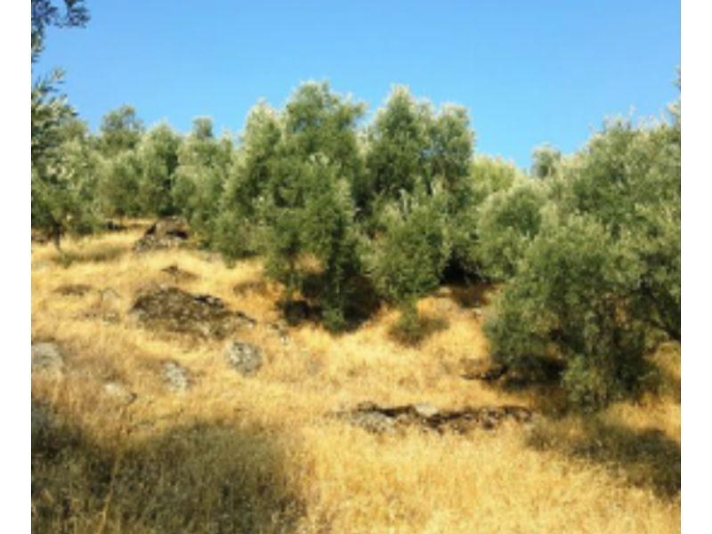Aydın Yenipazar Karaçakal Mahallesi'nde 9.5 dönüm Zeytinlik