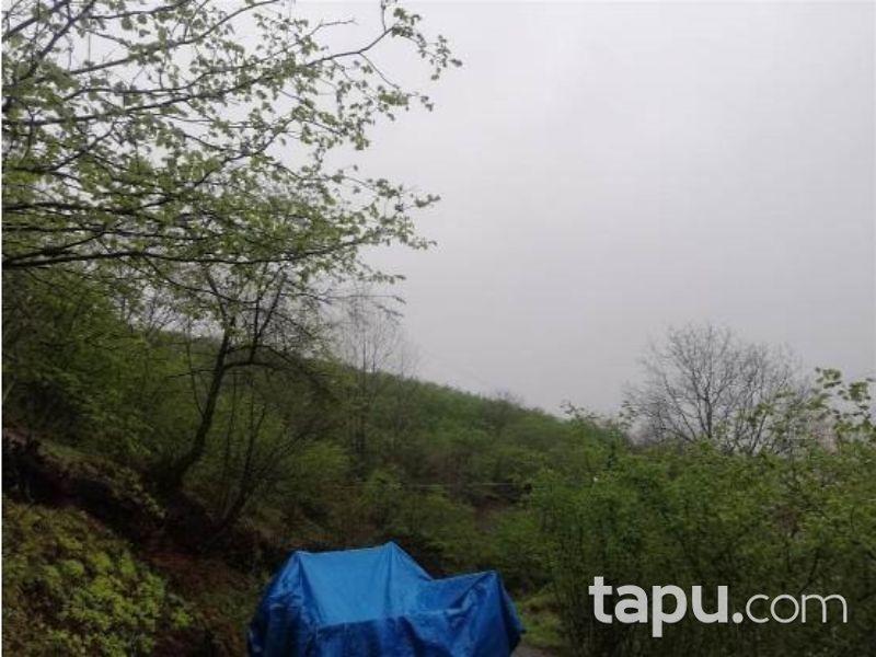 Samsun Salıpazarı Tacalan Mahallesinde 8.338 m2 Fındık Bahçesi