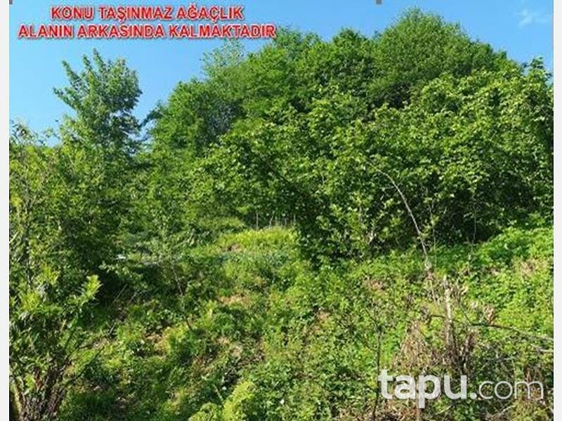 Trabzon Ortahisar Yeşilyurt Mahallesinde 4.098 m2 Fındık Bahçesi